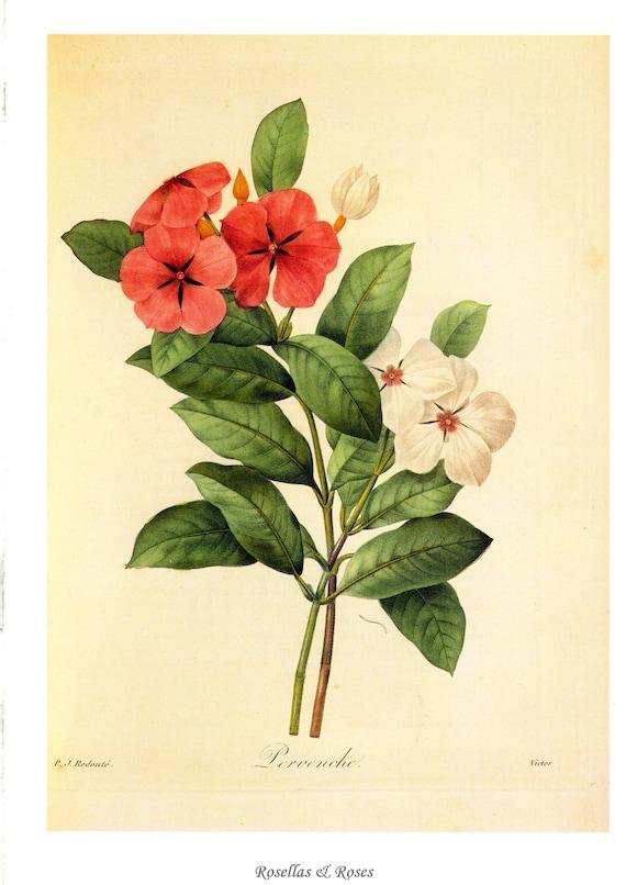 Vintage Madagascar Periwinkle botanical print by P J Redoute