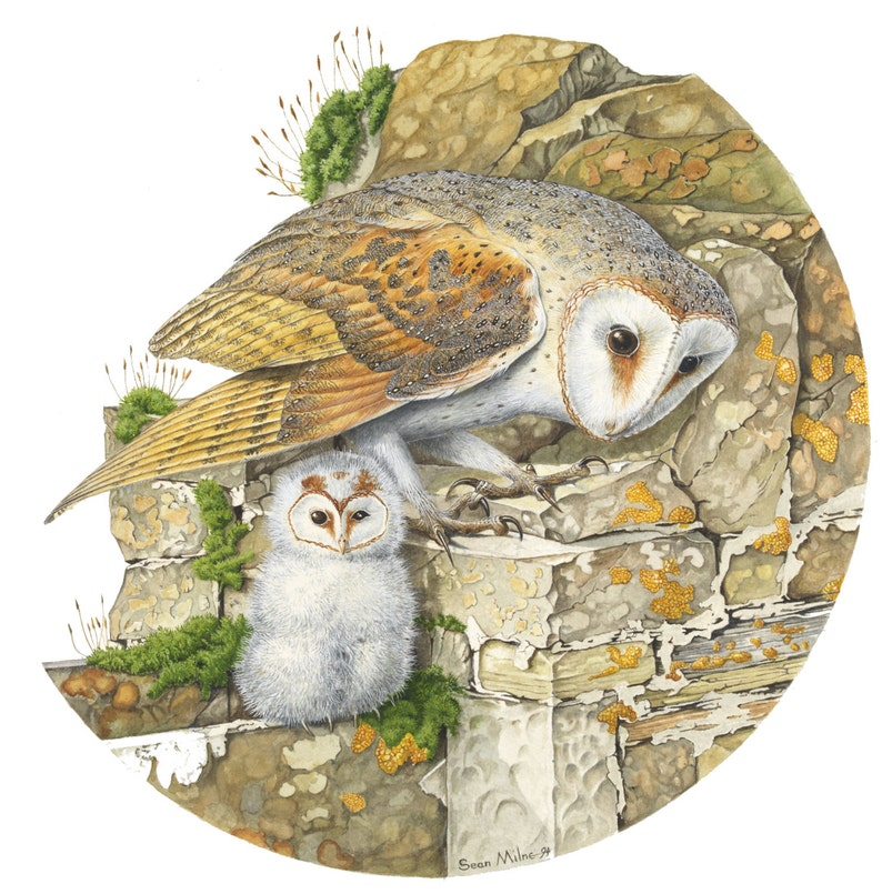 Barn Owl & Owlet // Square 13.5 x 13.5 Archival image 0