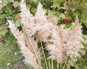 Light-colored Reed Plume Grass Pampas Grass Long Vase Feathery Plumes Spikelets of Rush Ikebana tall stalks Feather grass Beach Wedding