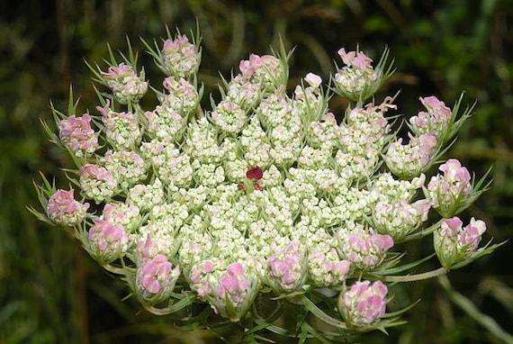 Semillas De Zanahoria Salvaje Daucus Carota Etsy Las zanahorias salvajes son monstruos en la serie. semillas de zanahoria salvaje daucus carota
