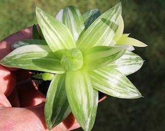 haworthia planifolia variegated