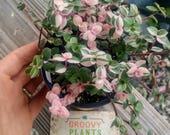 Callisia repens 39 Bianca 39 Pink Rare Succulent
