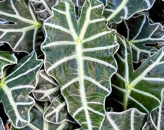 """Alocasia Amazonica 'Polly' 