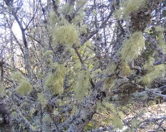 Beard Lichen Moss