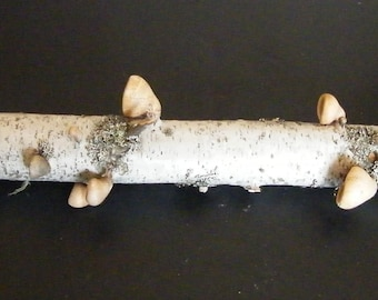 Natural Birch Tree Limb covered in Birch Polypores