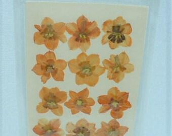Real press flower daffodil orange