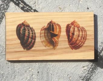 Wooden Print - Shells | Wood | Print | Wall Art | Decor | Natural Prints | Surf Art