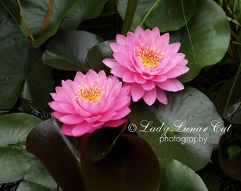 Two Pink Lotus Flower photo Digital Photography Pink flower photography Pink stock photo Desktop Wallpapers Download photo Stock photography