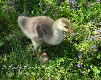 Gosling photo Flower meadow photo Digital Photography Stock photography Farm photo Download photo Fine art photo Downloadable images