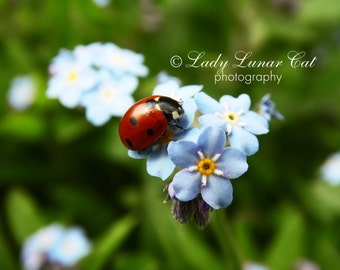 Ladybug Forget-me-not photo Blue flowers Photo Background Photography Desktop wallpaper Digital Photography Greeting card Art Photography
