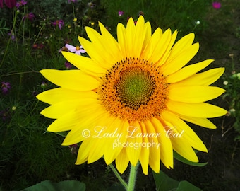 Sunflower photo Yellow Flower photo Garden photo Fine art photo Digital Photography Commercial use photo Botanical Photo Desktop Wallpapers