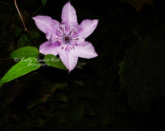 Pink flower photo Clematis photo Black background photo Modern photography Minimalist photo Nature photography Floral photography Fine art