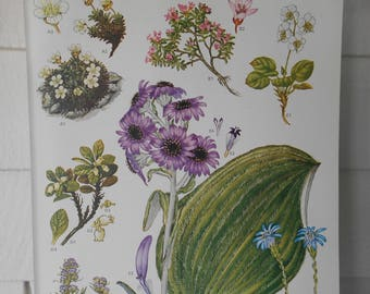"""Botanical, Original Book Page (Plate #6) from """"Wildflowers of the World"""" 9X12"""""""