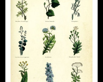 "Herbal Botanical Print #17 from ""The Complete Herbal"" book 1850 (Available as a 5""X7"" or 8""x10""print)"
