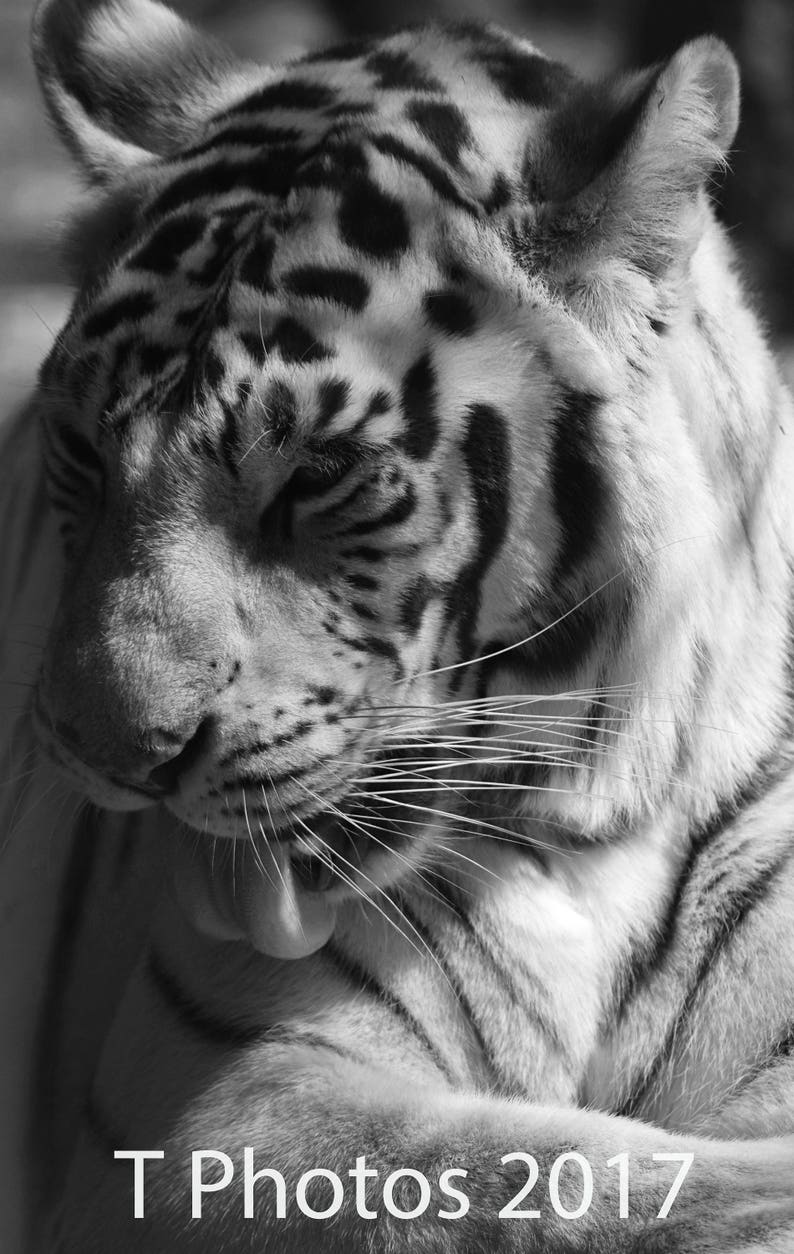 close up white tiger blue eyed tiger black and white etsyimage 0