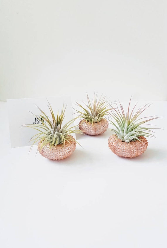 Copper Metallic Shells With Air Plants Tillandsia In Hand Etsy