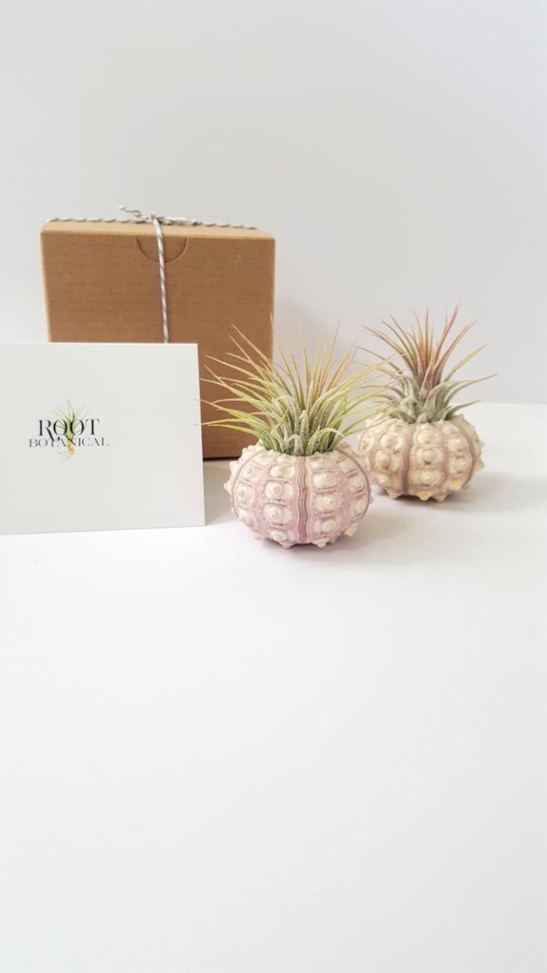 Sputnik Sea Urchin with Air Plant Pair or Trio Air Plants and Sea Shell Planter Gift Box and Care Instructions Included