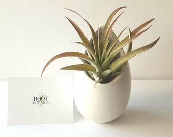 "Large Air Plant in Large White Ceramic Hanging Planter,  Modern ""Egg"" Matte White Planter With Tillandsia"