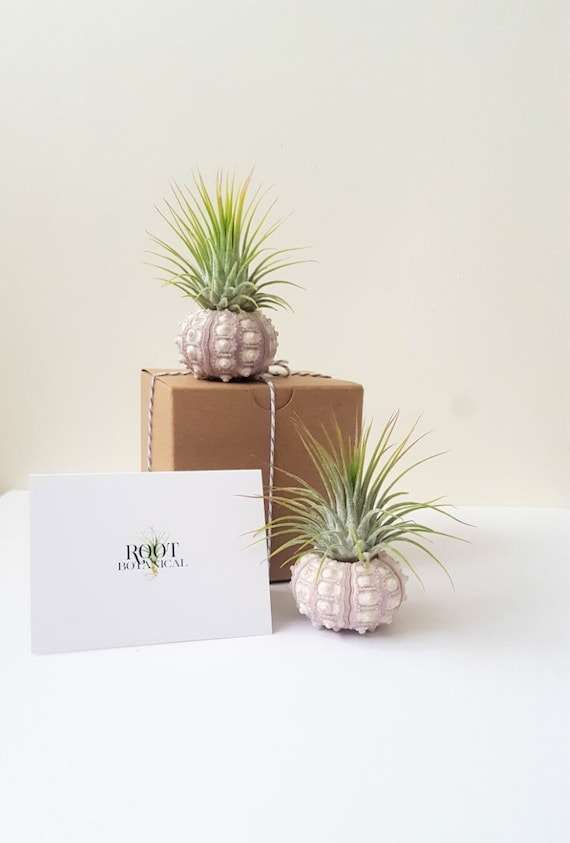 Sputnik Sea Urchin With Air Plant Pair Two Air Plants And Sea Etsy