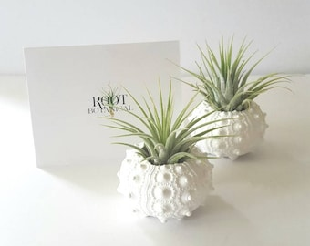 Air Plants in White Hand Painted Sea Urchin Shells, Pair or Trio, Desk Plant, Indoor Plant, Office Decor, Gift boxed, Instructions included