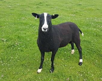 Zwartble raw fleece