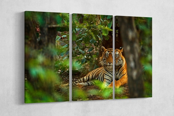 Male indian tiger in Ranthambore, India framed canvas leather print/Wild animals/Large wall art/Tiger print/Made in Italy/Better than canvas