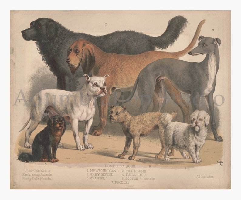Prang Color Lithograph circa 1874 Spaniel Grey Hound Bull Dog Poodle Victorian Study Newfoundland Domestic Dogs Archival Print L