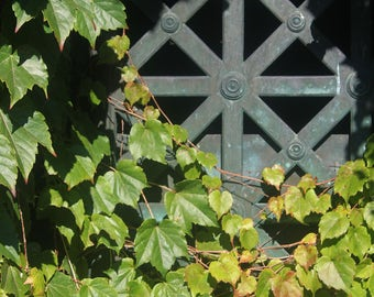 Ivy Covered Grate