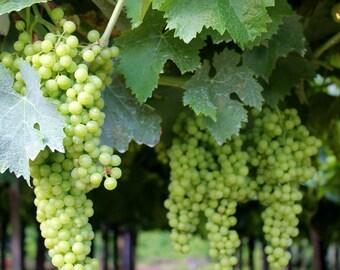 Grapes on Vineyard