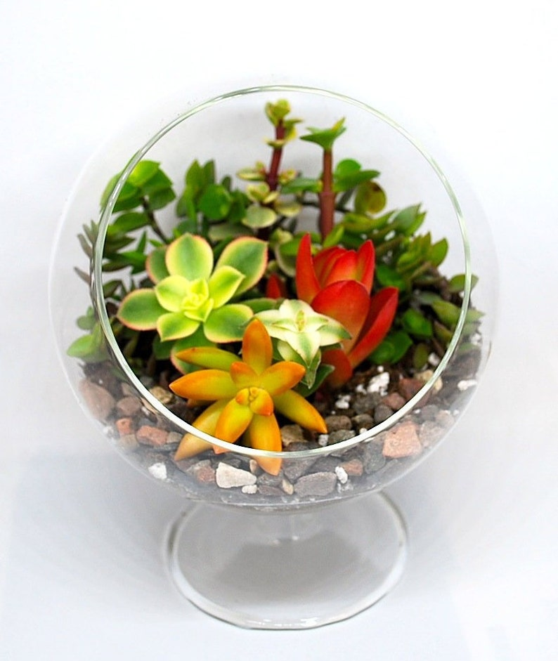 Succulents Terrarium Kit 5 Glass Globe with 3 image 0