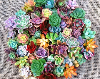 Rosette Succulent Cuttings Collection