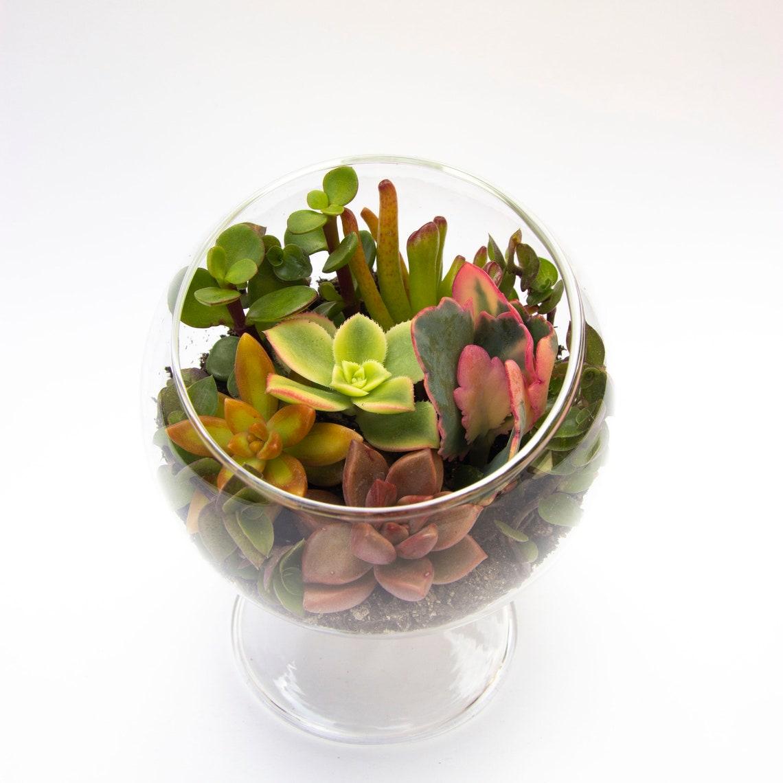 best succulents for terrariums , Succulents Terrarium Kit Glass Globe with Pedestal DIY image 2