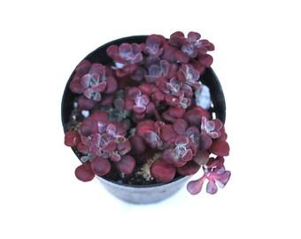 """Sedum Spathulifolium Purpureum Carnea - Purple Broadleaf Stonecrop 2.5"""""""