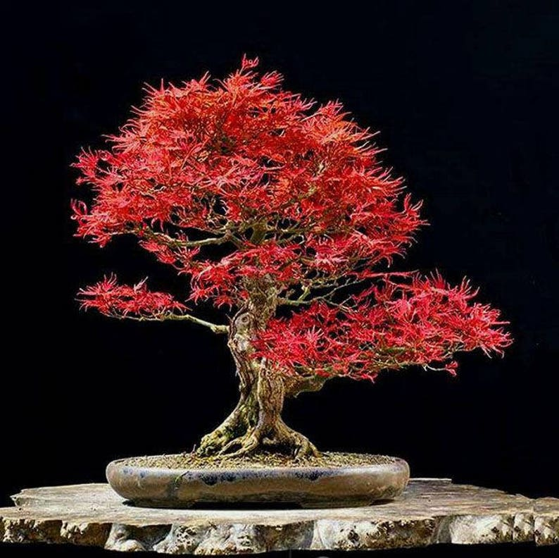 Red Lace Leaf Japanese Maple Seeds Acer Palmatum Dissectum Etsy