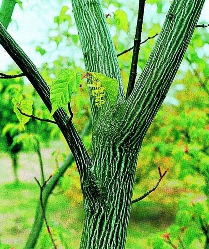 Acer Davidii Snakebark Maple 25 Seeds Bonsai Or Landscape Etsy