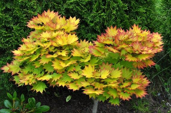 Autumn Moon Maple Seeds Acer Shirasawanum Beautiful Etsy