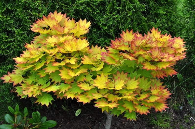Autumn Moon Maple Seeds Acer Shirasawanum Beautiful Etsy
