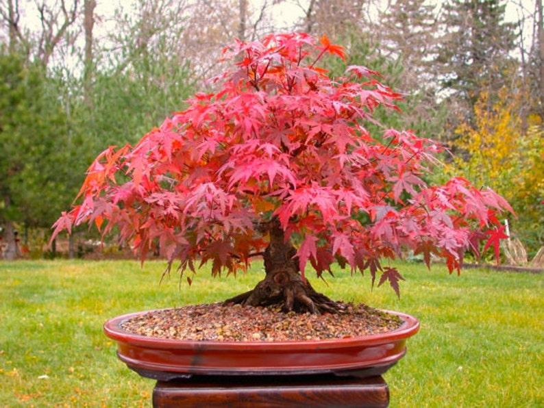 25 Japanese Red Maple Tree Seeds Acer Palmatum Atropurpureum Etsy