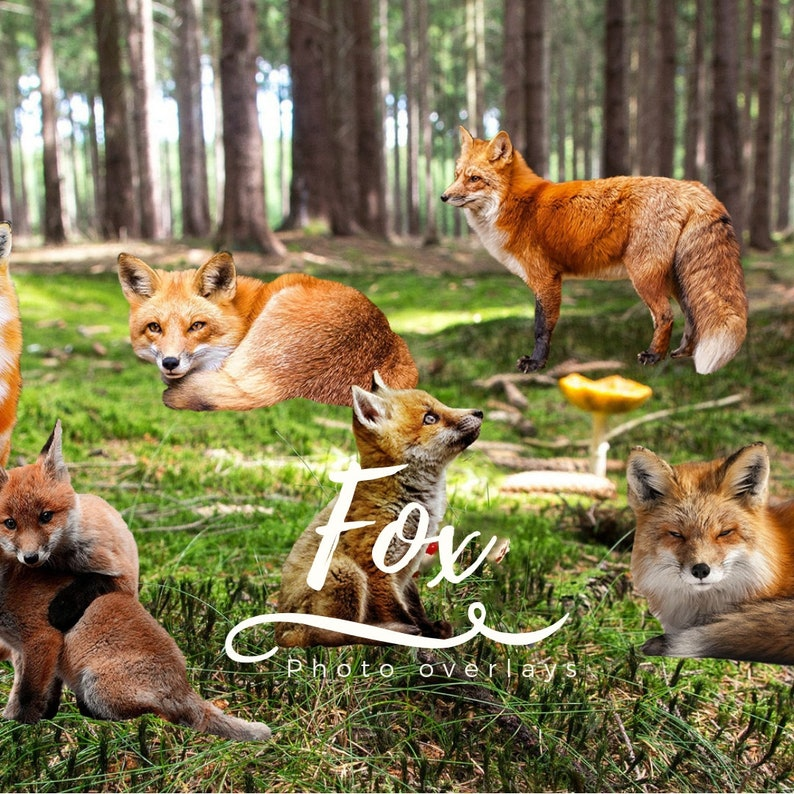 Nature Photo Animals Clip Art Mammal Fox Clipart High resolution Overlays 6 Red Fox PNG Overlays Animal Photoshop Overlays ON SALE