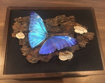 REAL blue morpho butterfly