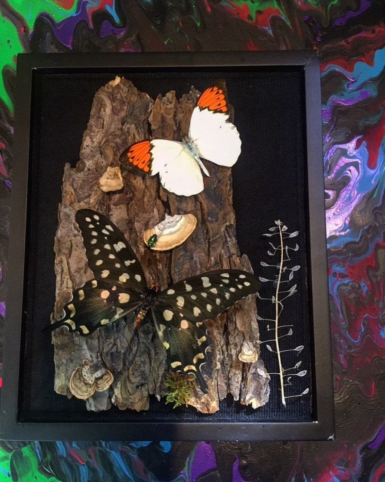 REAL Papilio Antenor and Giant Barred Orange  Butterfly in a 8x10  black shadow box .