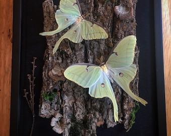 REAL Luna moths in an 8x10 black shadow box