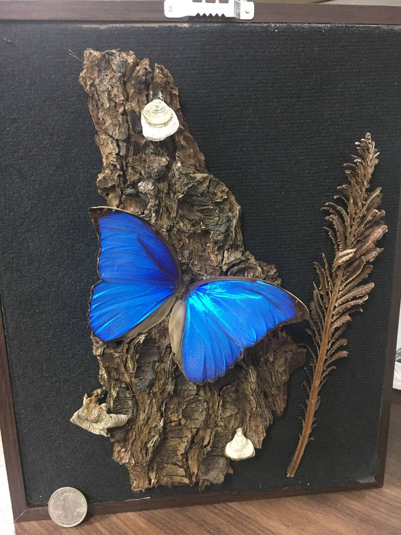Real Blue Morpho in a large brown  8x10 shadow box