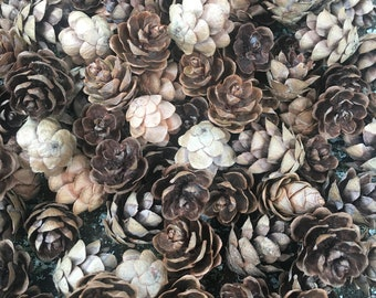 HATCHMATIC Germination Seeds 30 Medium Spruce Long Pine Cones 4 Size for Crafts and Art Projects-Home Decor