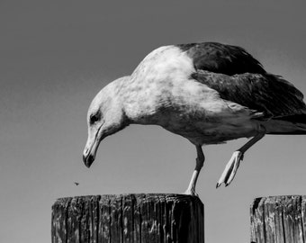 Animal Photography, Seagull Photograph, California Beach, Black and White Photography Print, Cali Beach Wall Decor- Lunchtime