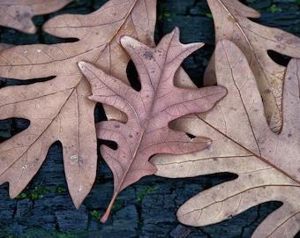 Fallen Leaves, Autumn, Illinois, Nature, Photography, Fine Art Print, Wall Decor