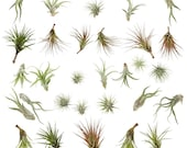 easy care live airplant - pick and mix - pick quantity required - Tillandsia air plant - house office succulent