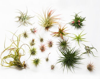 AIR PLANTS x 2 - Named Tillandsia collection - Indoor Live Plant, House Decoration, Office Airplants