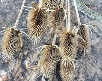 "Dried Teasel, Long-stemmed 18-24"", Dried Wildflowers, Fall Flowers, Dried Flower Bouquet, Flower Potpourri, Dipsacus"