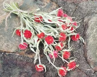 Strawberry Fields Gomphrena, Dried Globe Amaranth, Gomphrena globosa, Dried Flowers, Dried Flower Bouquet, Pink Flowers, Red Flowers